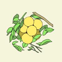 イラスト:グレープフルーツ